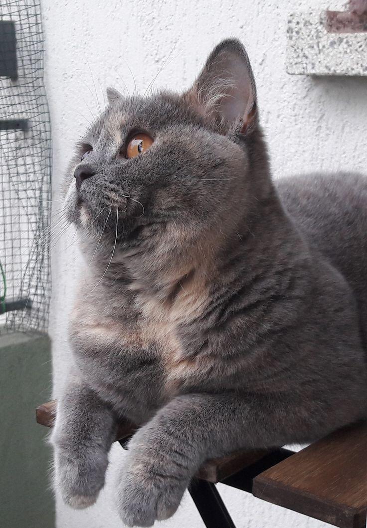 Bonny, british shorthair, 11 months