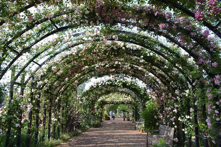 Wussten Sie, dass die Rose die offizielle Blume der japanischen Stadt Yokohama ist? Die ersten Rosen wurden in dieser Hafenstadt ursprünglich im Yamate Park im 19. Jh gepflanzt. Dieser Garten in Yokohama war zudem der erste von Europäern im westlichen Stil gestaltete Park in Japan. Dieses wunderschöne Bild mit blühenden Rambler-Rosen auf Metall-Bögen stammt jedoch aus dem heutigen Yokohama English Garden.
