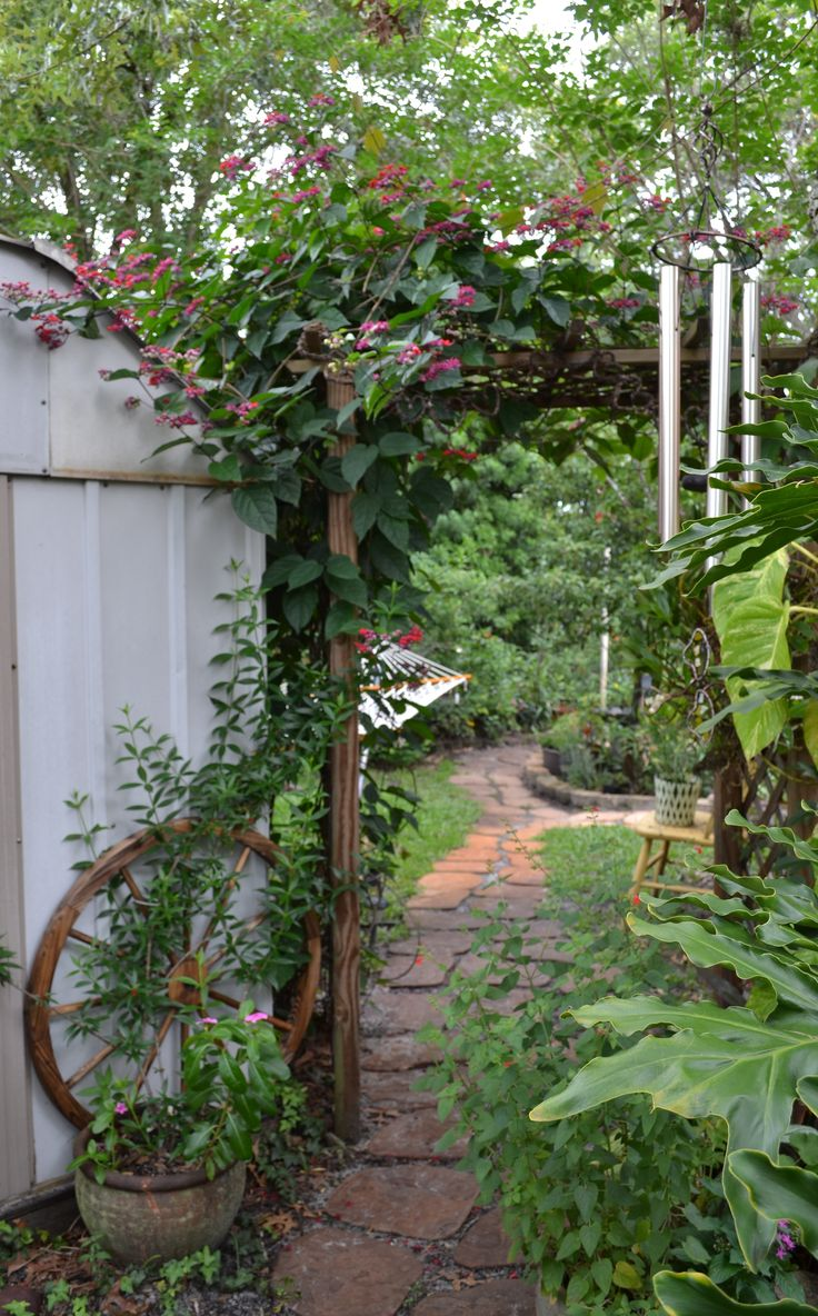 Bleeding heart vine over the pathway into the garden!