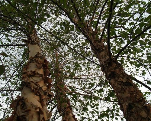 Betula nigra 'Heritage': River birch has peeling salmon-white bark. Zones 4 to 9.