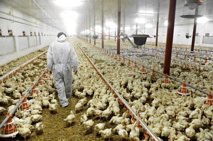 Un piccolo borgo insorge per un allevamento intensivo di polli