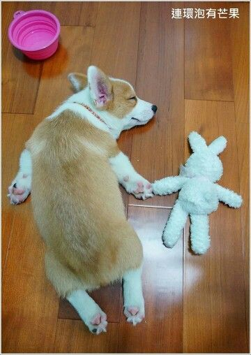 Welsh Corgi puppy and baby