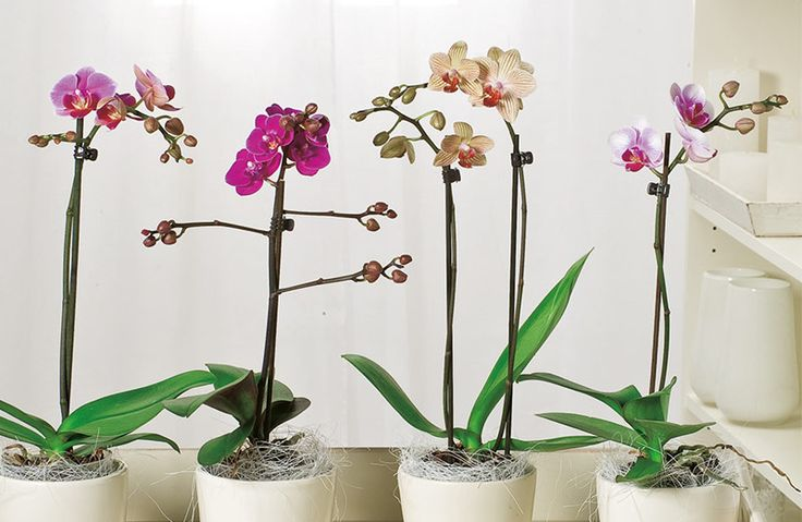 Verzorging van de vlinderorchidee Phalaenopsis. #kamerplant #verzorging #wonen #orchidee