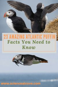 Puffins are cool birds. Find plenty of news, facts and some pictures about this cool Atlantic bird. #puffin #puffinfacts #puffinfactslife
