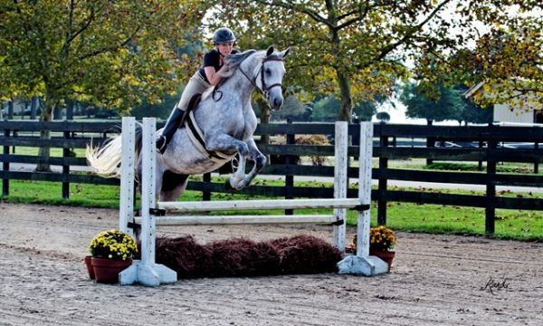 Hunter Jumper Mare  Price Reduced To Sell