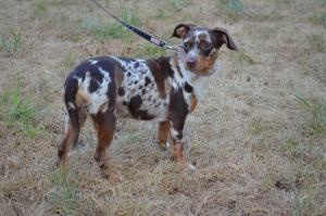 1000 Images About Catahoula Leopard Dogs On Pinterest