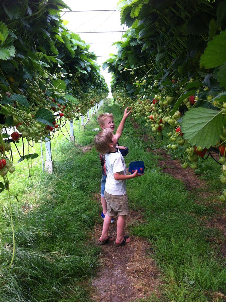 aardbeien plukken! Lange Tafels Junior