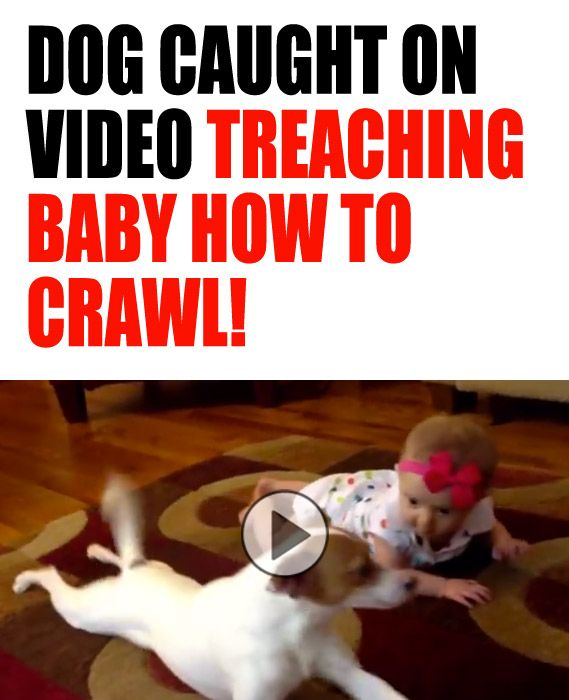 Jack Russell family dog teaching baby how to crawl!