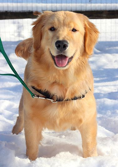 Adopted, thank you!  Golden Puppy, Arthur! Toledo OH