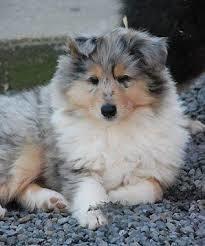 Onyx, chien Colley à poil long