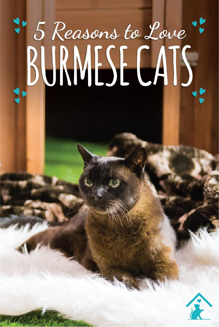 Click the pin to see why we love the Burmese cat breed! #catbreed #cutecat