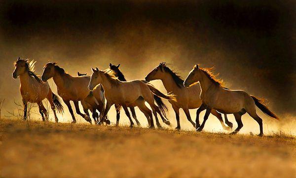 Wild Sulphur mustangs -believed to be one of the purest existing gene pools of Spanish horses in America- roam freely in southwestern Utah's Needle Range.