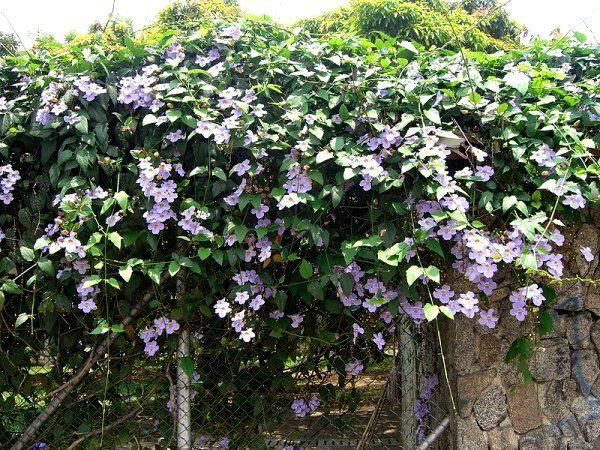 78 Best Images About Garden Climbing Vines On Pinterest