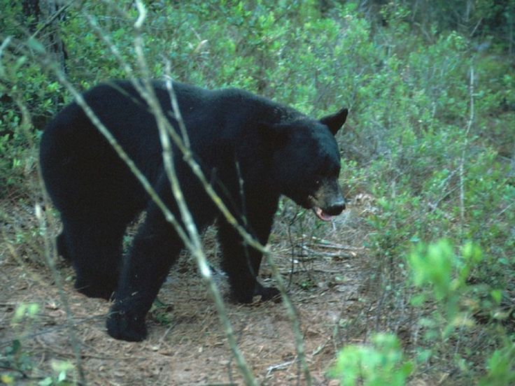Dog Stops Bear Attack on Florida Teen - A 15-year-old Panhandle girl's dog gets the credit for stopping a vicious black bear attack Saturday night.  The incident unfolded in Franklin County as Leah Reeder, 15, was out taking her dog for a walk, WCTVreported. The dog spotted the bear before the girl, the Northwest Florida Daily News reported. It began barking just before the creature knocked the teen into a ditch.
