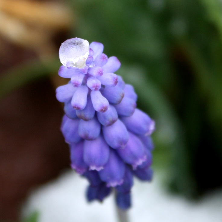 Ice Atop Grape Hyacinth Flowers (Photo courtesy photos-public-domain.com)