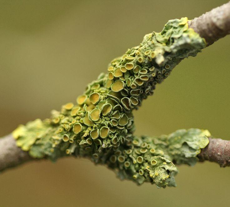 lichen - yes, I know lichen is not fungi!