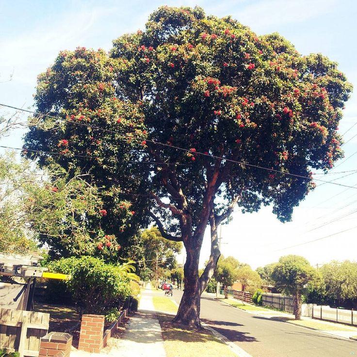 Now that's a big tree!  #Melbourne #bayside #tree #australia #melbourneiloveyou #instamelbourne #australiagram #visitmelbourne #victoria #thegardenstate #thingsiseewalking