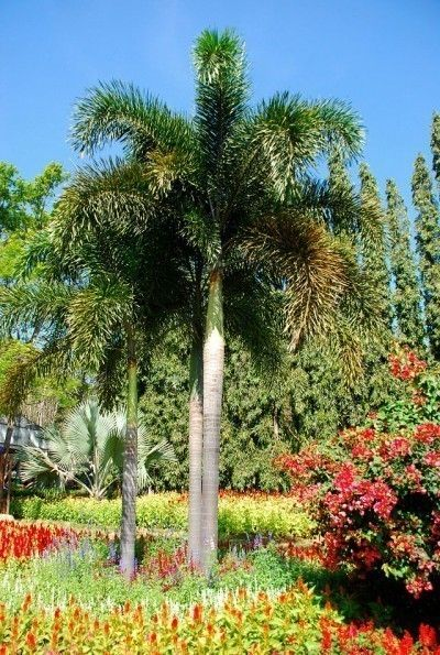 How to grow foxtail-palms