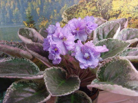 Blue tapestry Крупные махровые светло-розовые цветы, синеe фэнтези. Заостренный темно-зеленый с бело-розовым краем лист.