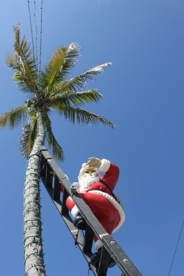 Sanibel Island Florida ☼ Santa Climbs This Palm Tree On Captiva Every Year Lovefl