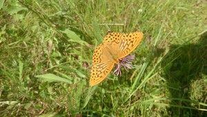 Перламутровка большая, или перламутровка большая лесная (лат. Argynnis paphia) — дневная бабочка из семейства нимфалид.  Широко распространена по всей Европе. Встречается на лесных опушках, полянах, обочинах лесных дорог, берегах рек. Взрослые бабочки живут около 4-ёх недель. Кормовые растения гусениц: яблоня, ежевика, малина.