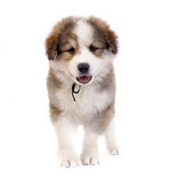 Il Ciobanesc Romanesc de Bucovina è un cane di taglia grande affettuoso, amorevole verso il padrone e verso i bambini. Perfetto come cane da guardia, sa essere anche un amico fedele e un ottimo cane da greggi.