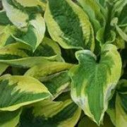 Hosta 'Wide Brim'. Suitable for Living Wall Shade Plant. Click image to get care advice.     Other names: Plantain lily 'Wide Brim'    Genus: Hosta    Variety or cultivar: 'Wide Brim' _ 'Wide Brim' is a perennial with a clump-forming habit. Its heart-shaped leaves are dark-green margined with creamy-yellow. In summer it bears funnel-shaped, pale lavender flowers on erect stems.