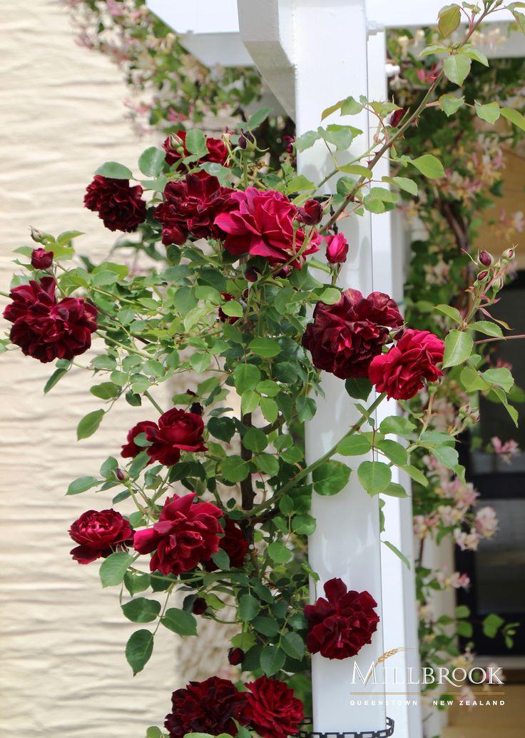 Roses blossom in the garden at Villas