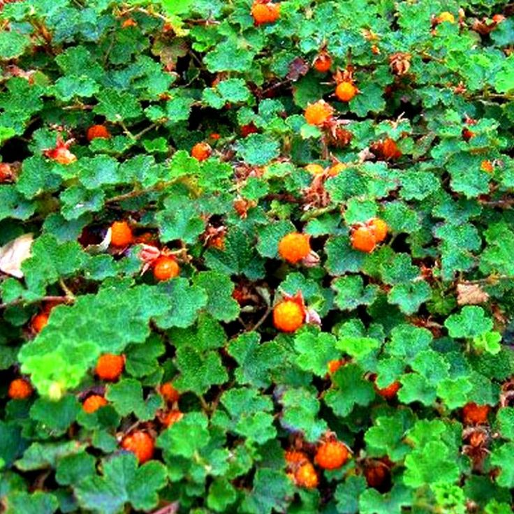 No 4 Groundcover Rubus Betty Ashburner Google Search Ground Cover Forest Garden Plants