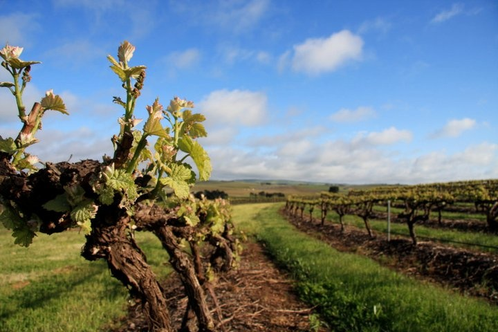 Vines in the Taylors Vineyard, Clare Valley
