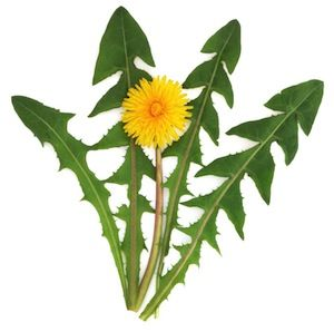 Dandelion Leaf || Feeling bloated or need a good cleansing tea?