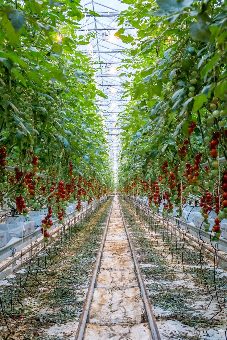 Covering over 7 football fields, our tomatoes grow strong as far as the eye can see.