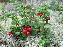 Arctic wild berries are distinctively featured in Finnish cuisine with their strong flavor and high nutrient content. It is quite common to go picking berries straight from the forests. Wild raspberries, bilberries and lingonberries (cowberries) are found almost in every part of Finland, while cloudberries, cranberries, arctic brambles and sea buckthorns grow on more specific areas. The wild strawberry (metsämansikka) with strong aroma is also a seasonal delicacy used for cakes or ice cream.