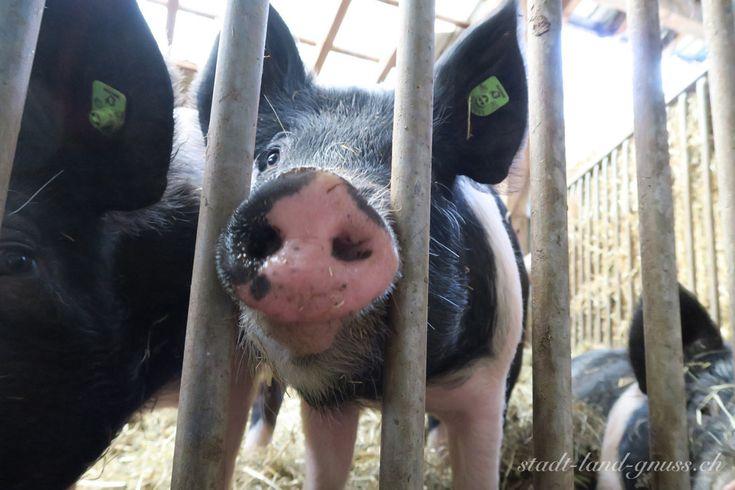 Hampshire Schweine KAGfreiland Bio Suisse