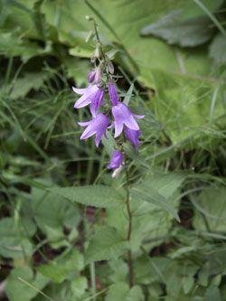 zvonek řepkovitý - Campanula rapunculoides | Květena České republiky - plané…