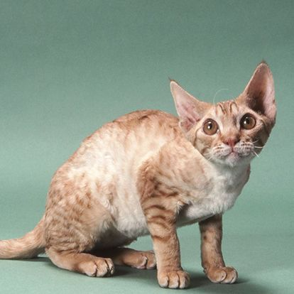 ... about Unique Cat Breeds on Pinterest | Kittens, Cat breeds and Manx