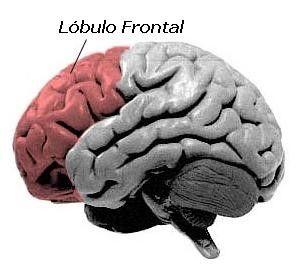 El lóbulo frontal está implicado en diversas funciones del comportamiento humano. Este se divide a su vez en diferentes áreas : Córtex precentral, Córtex prefrontal y Córtex Cingular.  Lesiones en este Lóbulo pueden alterar el razonamiento, el lenguaje, el control motor, la motivación, la resolución de problemas...  Referencia : Jódar-Vicente, M. (2004). Funciones cognitivas del lóbulo frontal. Revista de neurología, 39(2), 178-182.