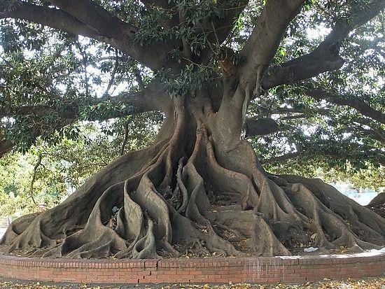 Is not an Ombú tree. It's a Gomero tree. Plaza de los Dos Congresos, buenos aires (Giant Ombu Tree, Buenos Aires, Argentina)