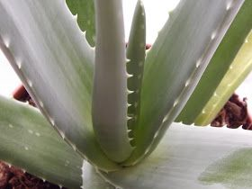 Tibb an Nabawi - The Medicine of the Holy Prophet (pbuh): Medicinal benefits of Aloe Vera