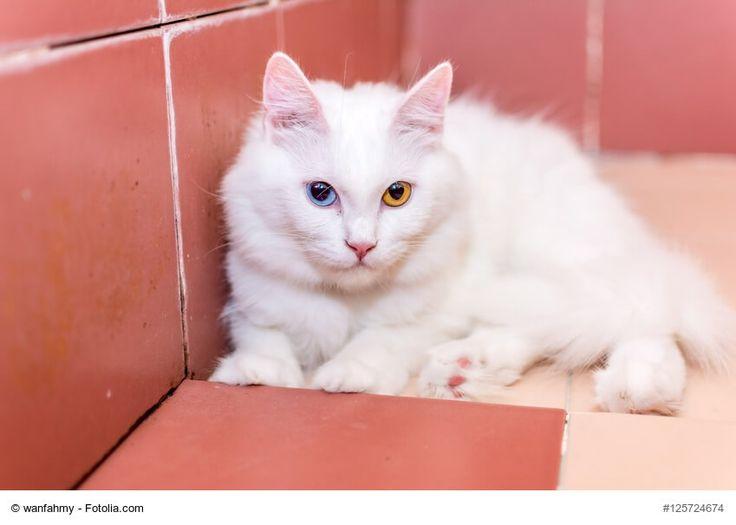 ★ Der Steckbrief über die beliebte Katzenrasse Türkisch Angora mit Bildern und allen Informationen zur Rasse, dem Wesen und der Herkunft. ★