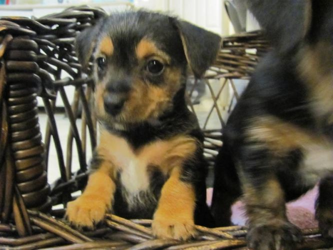 Yorkie Jack Russell mix ...this looks like Addy's doggie!
