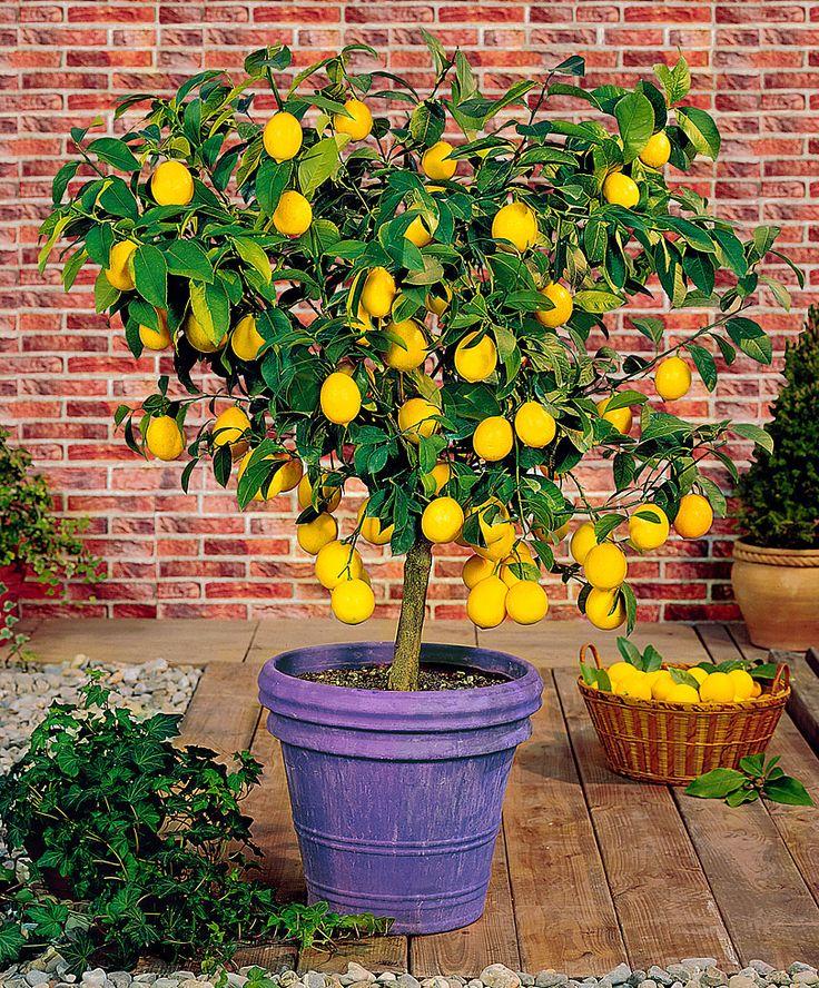 Les 63 meilleures images du tableau citrons sur pinterest agrumes citronnier et jaune - Faire pousser un citronnier ...