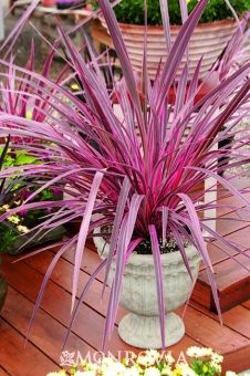 Dracana Pink Palm - gets to 4' tall - so dramatic and very low water needs! Great potted or in a borde