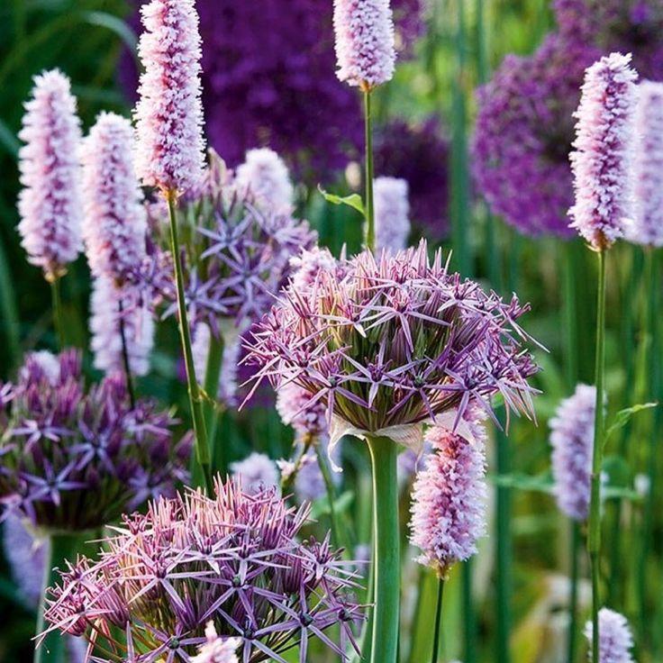 Allium en Persicaria Pllanting Combinations
