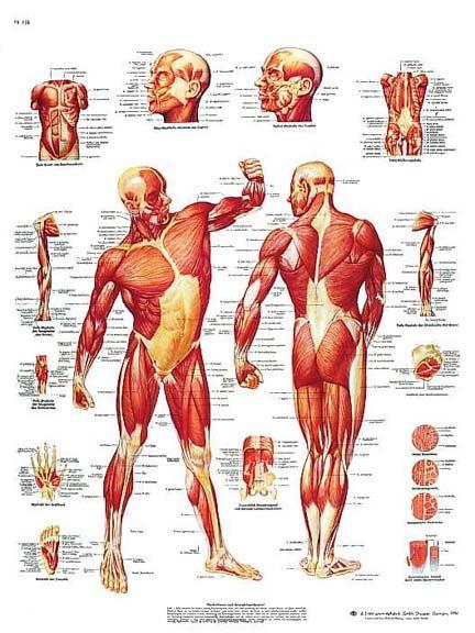 Mejores 32 imágenes de Anatomía en Pinterest | Huesos, Medicina y ...