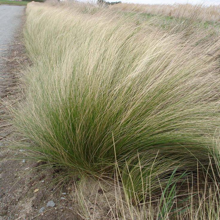 Stipa tenuifolia, cheveux d'ange / autour de la mare