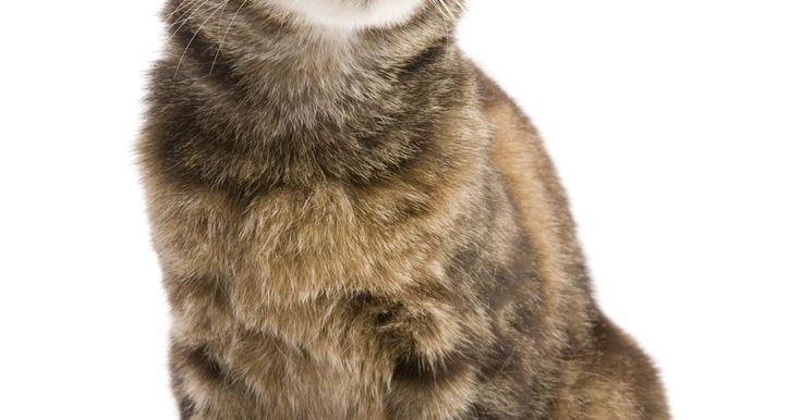 Orelha dobrada de felinos é sintoma de doenças?. Para muitos gatos, as orelhas demonstram um aspecto diferente, incluindo as orelhas dobradas, representando normalmente um sintoma, resultado de uma doença ou problema. Enquanto algumas raças têm orelhas de diferentes formatos, tais formas na população geral de gatos é geralmente sintoma de trauma ou doença.
