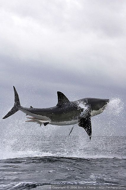Ok, so he's not cute... and frankly these sharks that leap from the water scare the bajebus out of me... thank goodness they only do it around one island off the coast of Africa...I think I can manage to stay away from there.