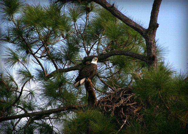 Live Eagle cam with two chicks   Eagle Cam / North Fort Myers /Dick Pritchett Real Estate