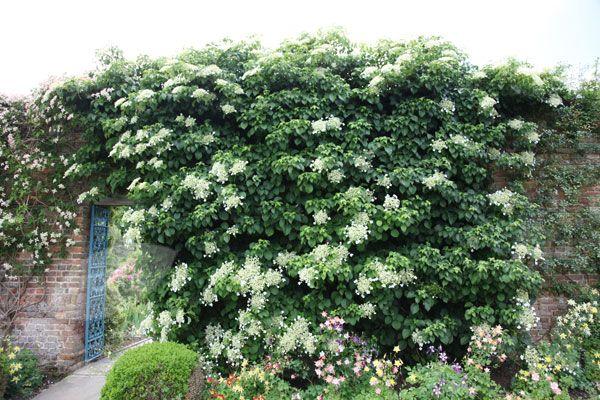Hydrangea anomala subsp. petiolaris climbing across a wall